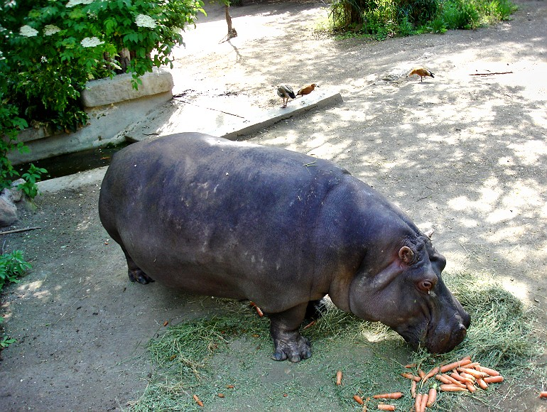 Hippopotamus eating grass & carrots